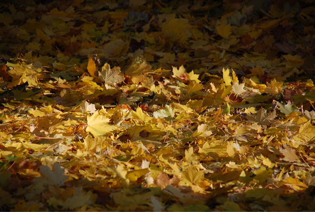 Fall leaves, Kingston, Ontario