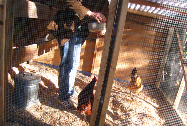urban farming, urban chicken keeping, backyard chicken coop