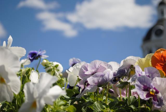Spring Flowers, Kingston, City Hall