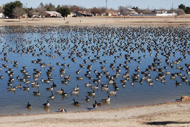 Canadian Geese, Kingston, Ontario