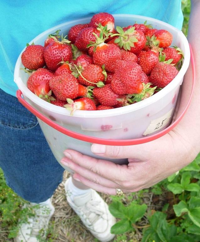 eat strawberries, pick strawberries, Kingston, Ontario