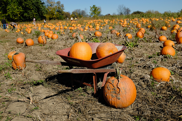 apples, pumpkins, orchards, pumpkin patches, u-pick, farms, local food, Kingston, Ontario