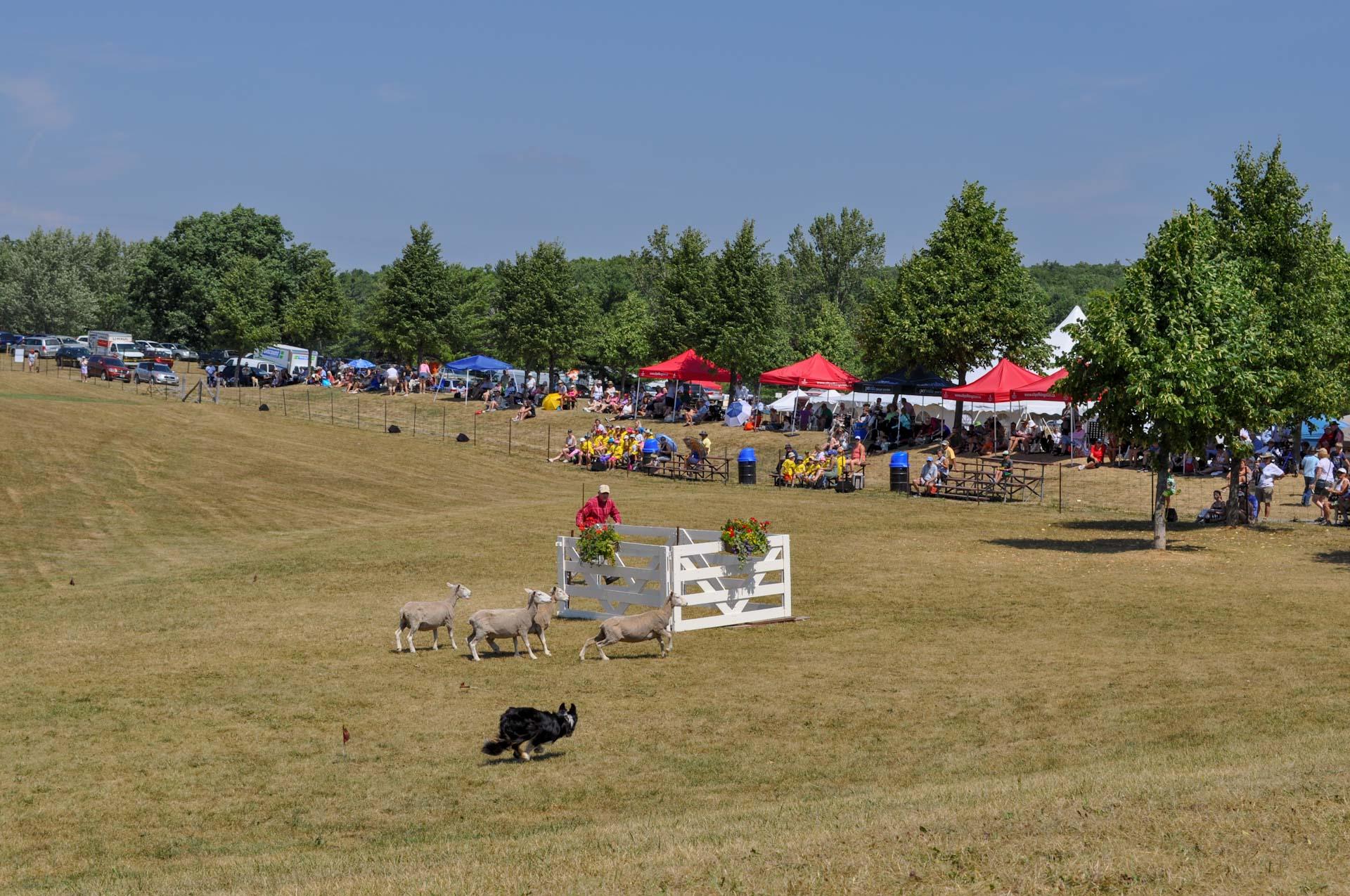 Kingston Sheepdog Trials take over Grass Creek Park this weekend